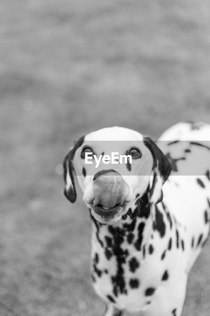 Close-Up Portrait Of Dalmatian Dog On Field