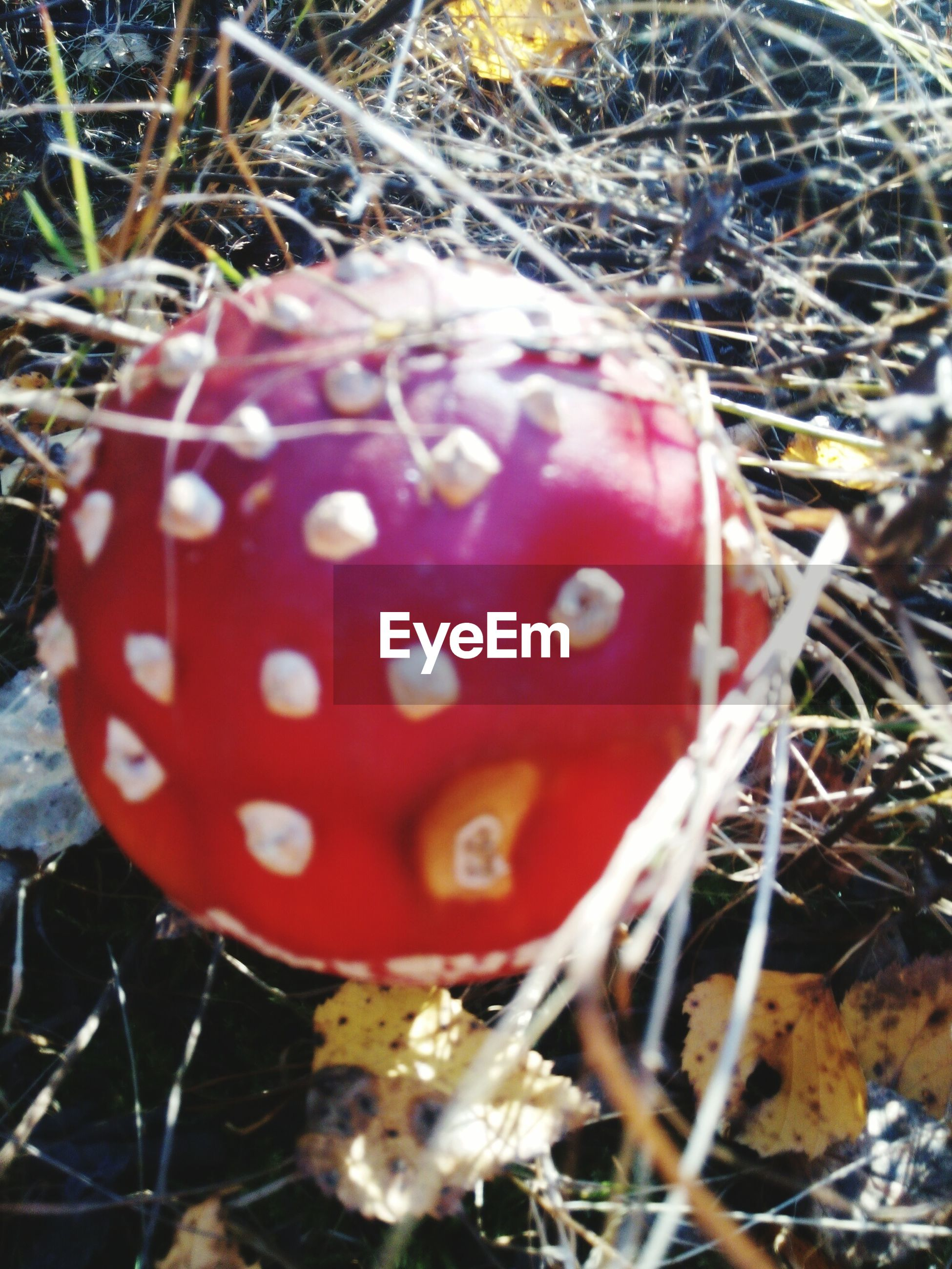 close-up, mushroom, toadstool, red, fungus, selective focus, fly agaric mushroom, nature, brown, outdoors, extreme close-up, day, vibrant color, focus on foreground