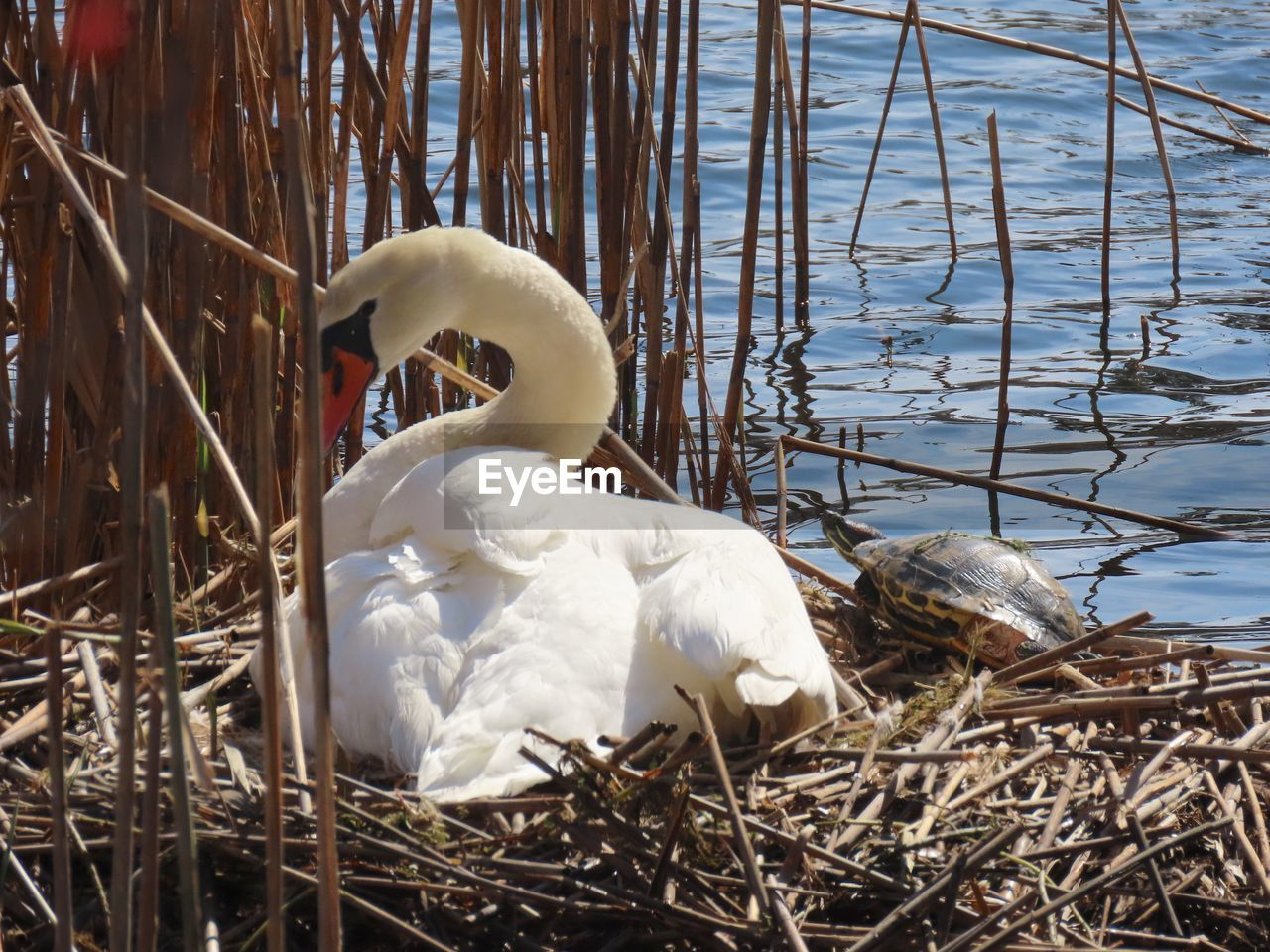 animal themes, bird, animal, animals in the wild, nature, day, no people, animal nest, animal wildlife, vertebrate, plant, lake, swan, white color, water, one animal, zoology, bird nest, young animal, beak, animal family
