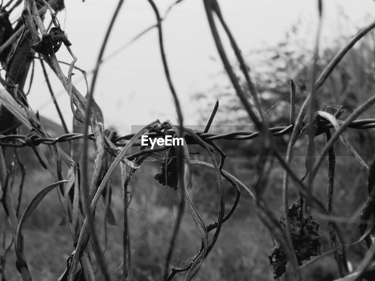 plant, dried plant, barbed wire, dead plant, no people, day, outdoors, close-up, nature, beauty in nature