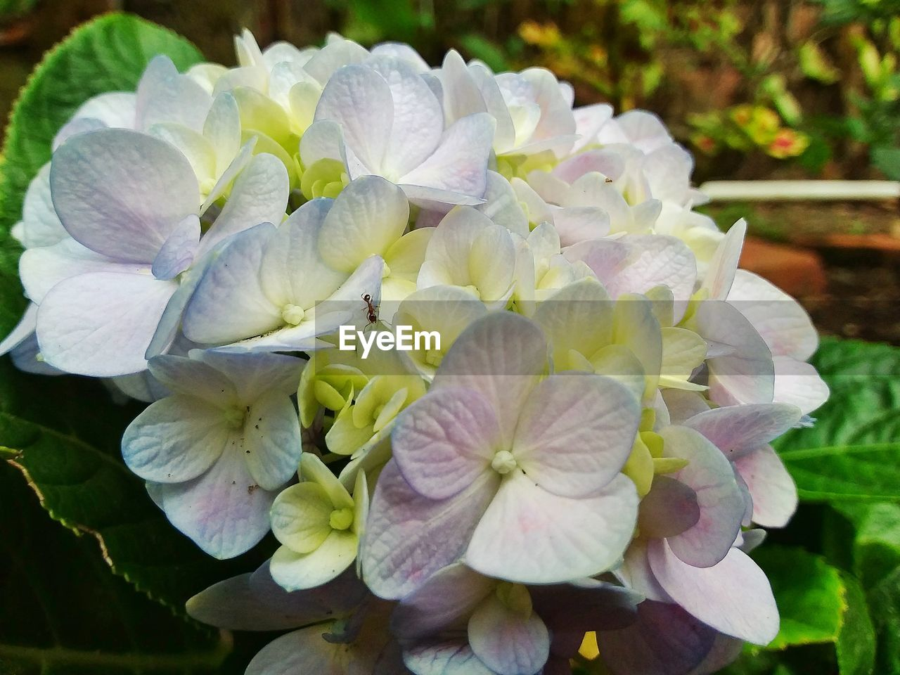 flowering plant, flower, fragility, vulnerability, beauty in nature, plant, petal, close-up, freshness, growth, inflorescence, flower head, nature, day, focus on foreground, hydrangea, no people, botany, white color, outdoors, springtime, bunch of flowers, lilac