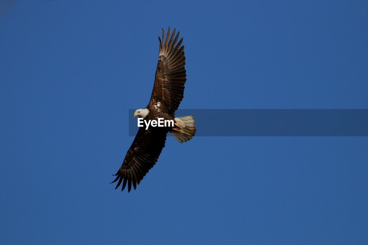 flying, animal wildlife, animals in the wild, animal, bird, animal themes, vertebrate, sky, spread wings, low angle view, clear sky, bird of prey, one animal, blue, no people, mid-air, copy space, nature, motion, eagle, outdoors, eagle - bird, height