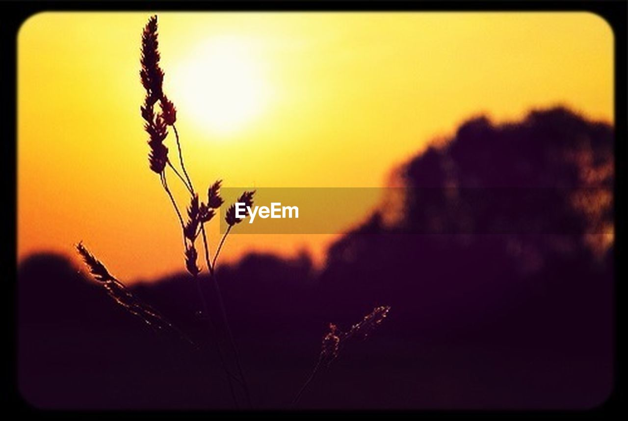 sunset, plant, nature, growth, beauty in nature, rural scene, field, agriculture, cereal plant, scenics, crop, silhouette, outdoors, tranquil scene, no people, landscape, sky, tranquility, wheat, close-up, tree, day, freshness