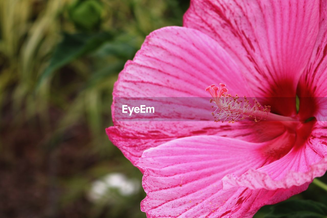 flower, petal, fragility, flower head, beauty in nature, pink color, nature, growth, freshness, close-up, plant, focus on foreground, stamen, no people, day, blooming, outdoors, hibiscus, day lily