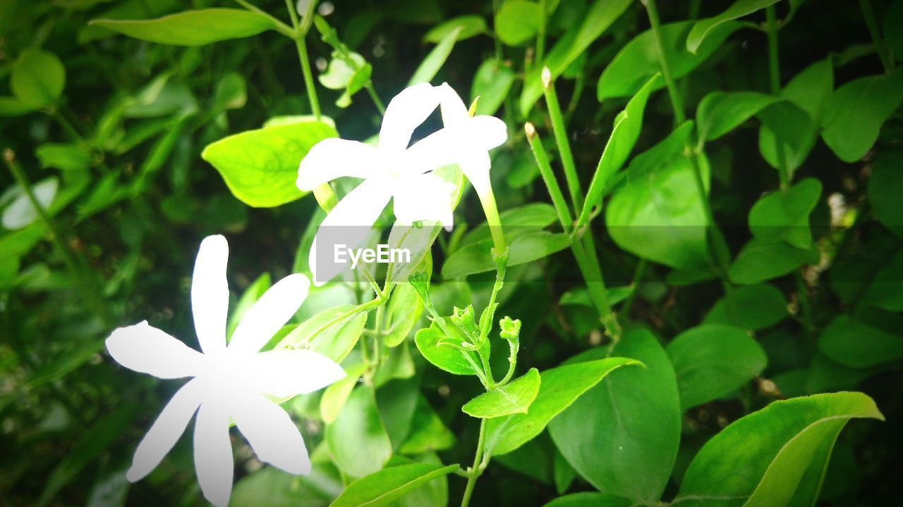 flower, white color, green color, fragility, leaf, plant, growth, petal, flower head, nature, outdoors, beauty in nature, day, blooming, freshness, no people, close-up