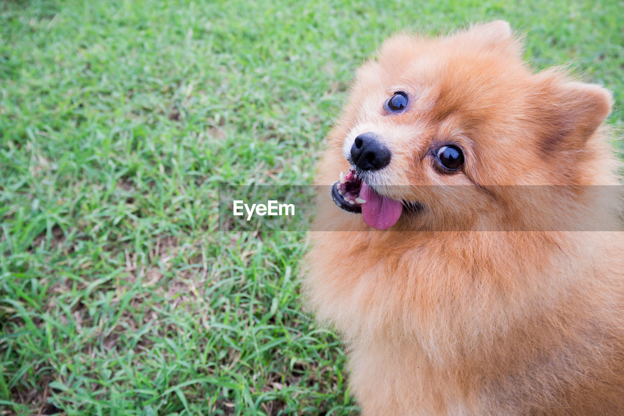 High Angle Portrait Of Pomeranian Sticking Out Tongue On Grassy Field