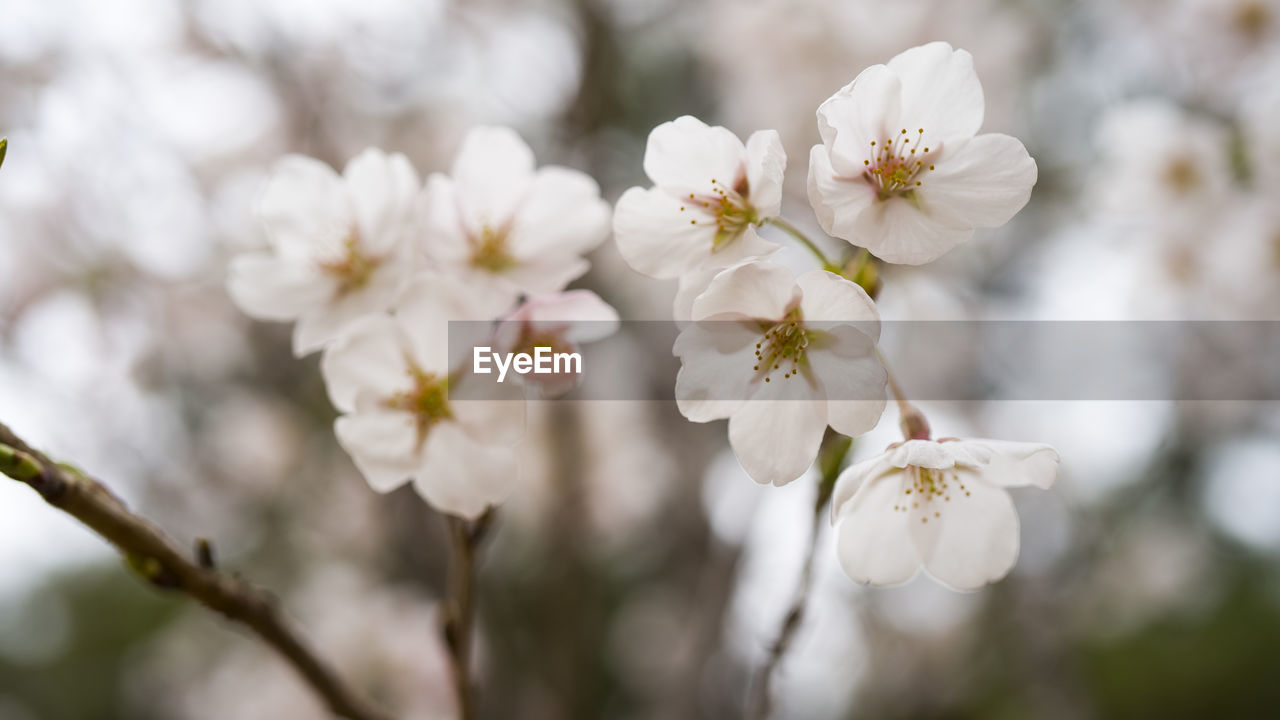 plant, flowering plant, flower, fragility, vulnerability, beauty in nature, freshness, growth, petal, close-up, tree, white color, inflorescence, flower head, blossom, pollen, nature, springtime, no people, focus on foreground, cherry blossom, outdoors, cherry tree