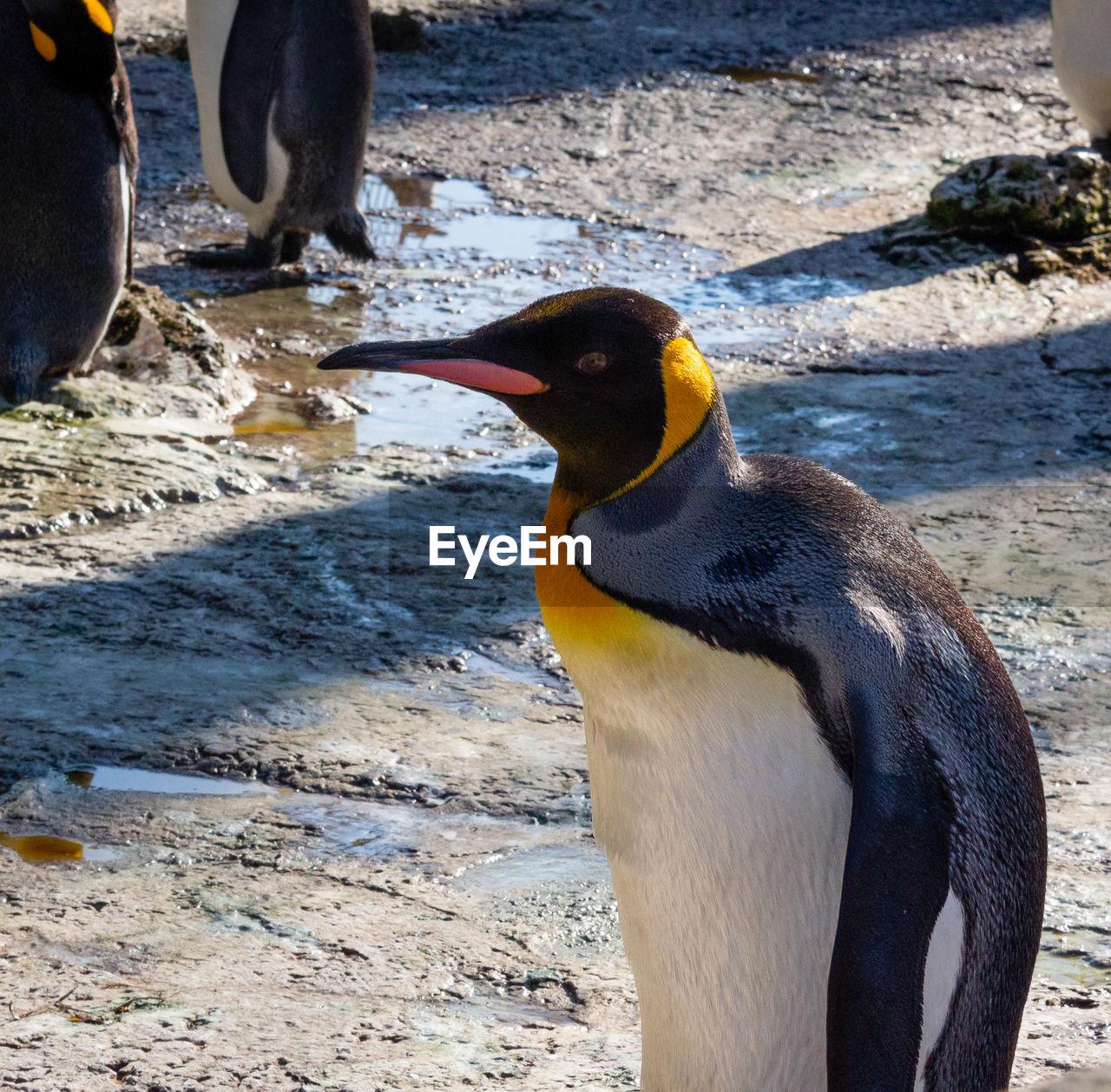 animal, animal themes, vertebrate, animal wildlife, bird, animals in the wild, penguin, one animal, nature, day, water, beak, close-up, no people, focus on foreground, beach, solid, sunlight, animal head