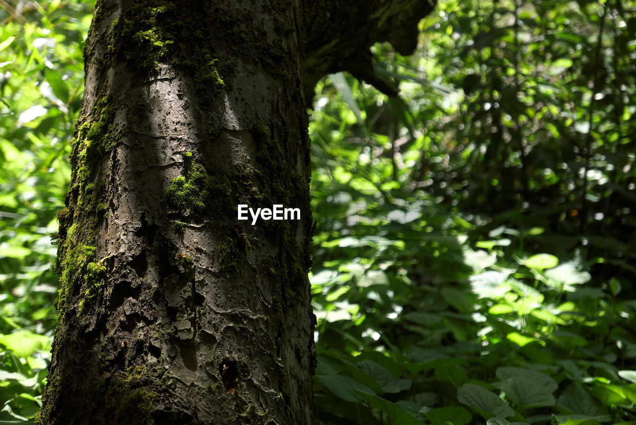 tree trunk, tree, nature, growth, focus on foreground, day, outdoors, beauty in nature, forest, no people, tranquility, close-up
