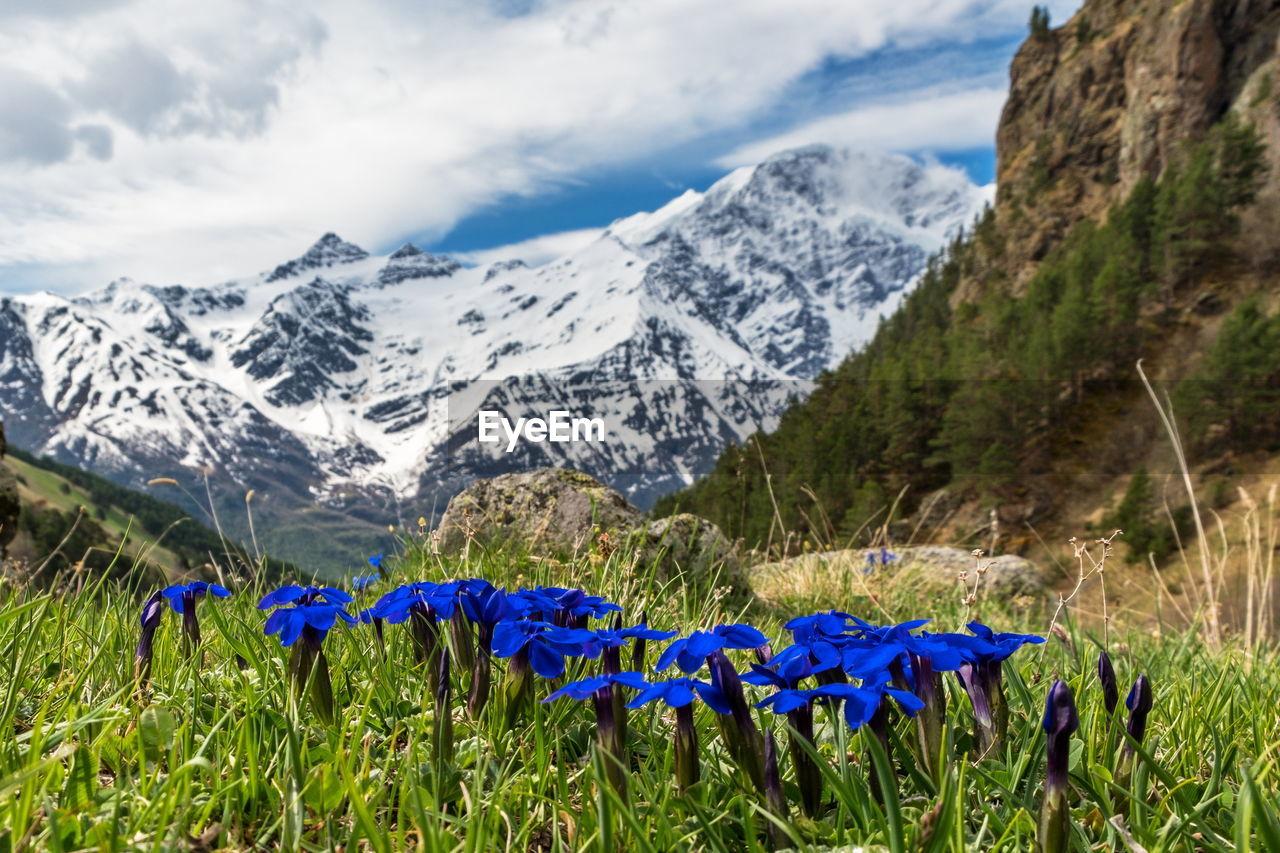 PURPLE FLOWERING PLANTS ON FIELD AGAINST MOUNTAIN