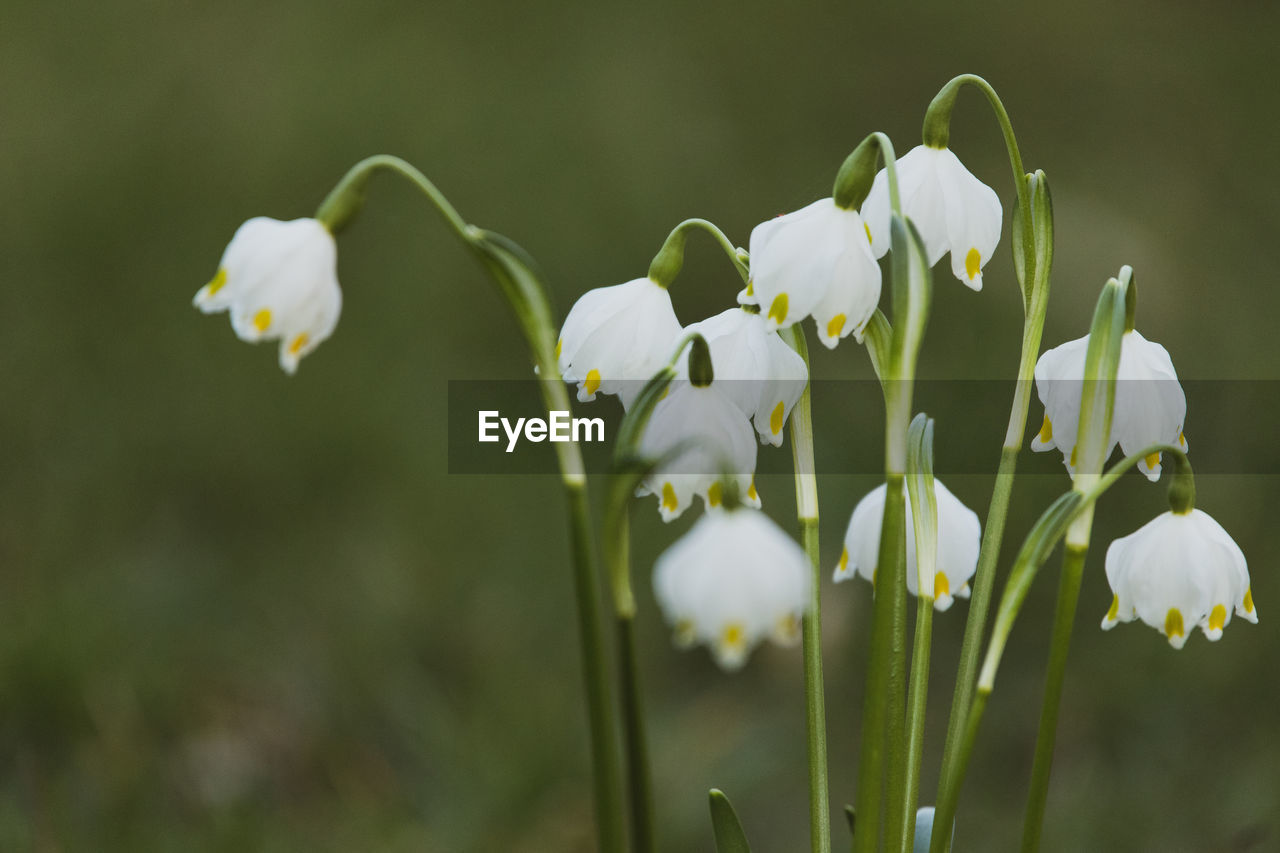 flowering plant, flower, plant, vulnerability, fragility, beauty in nature, growth, freshness, petal, close-up, white color, focus on foreground, day, no people, inflorescence, nature, flower head, plant stem, bud, selective focus, outdoors