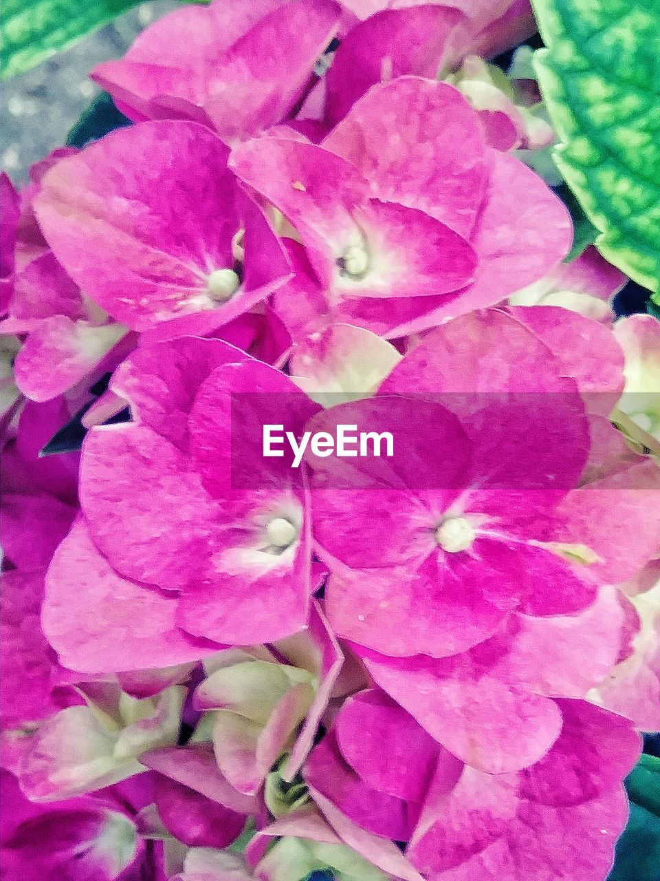 flowering plant, flower, plant, vulnerability, beauty in nature, pink color, freshness, petal, fragility, close-up, inflorescence, growth, flower head, nature, no people, day, outdoors, high angle view, botany, springtime, purple, bunch of flowers
