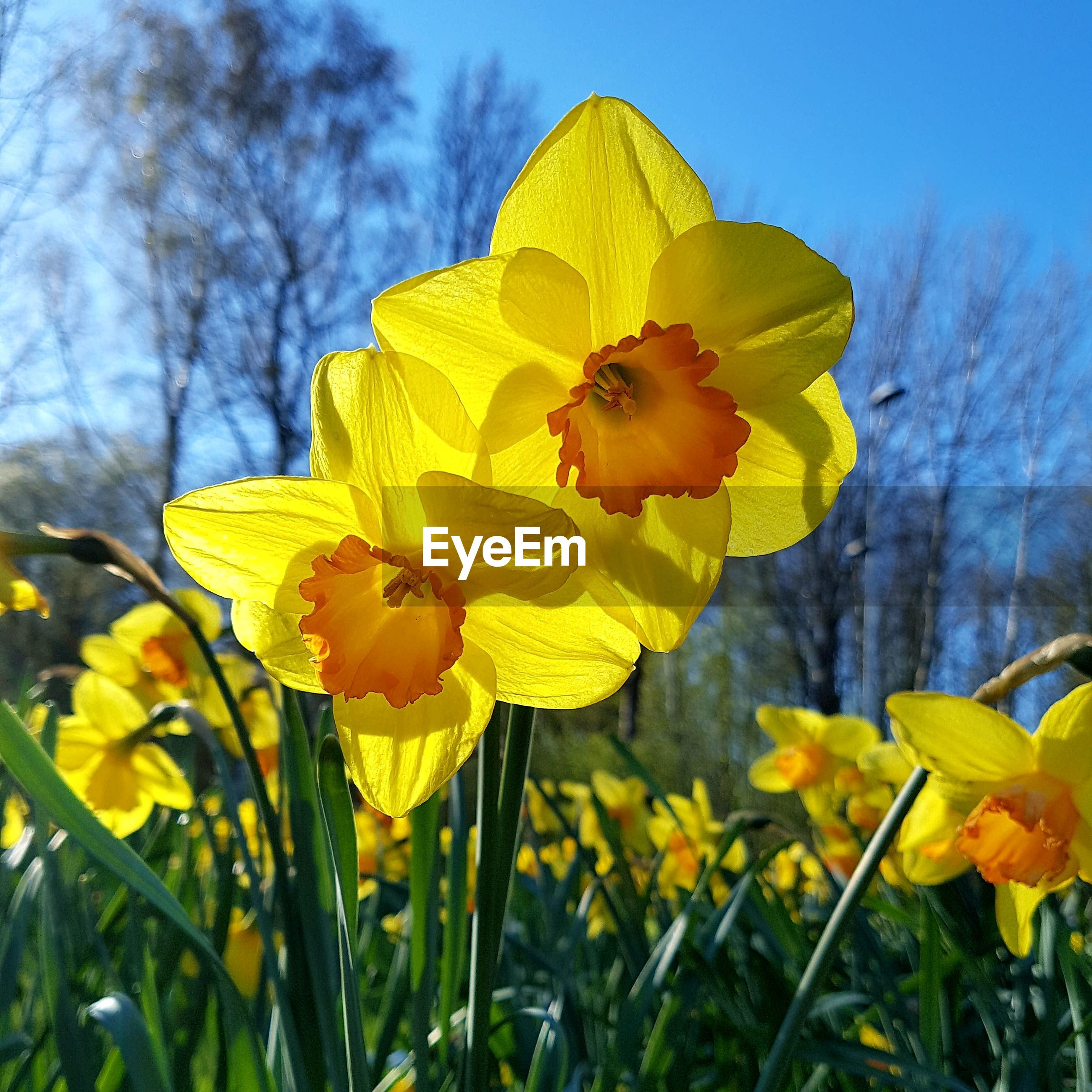 CLOSE-UP OF YELLOW CROCUS BLOOMING IN FIELD