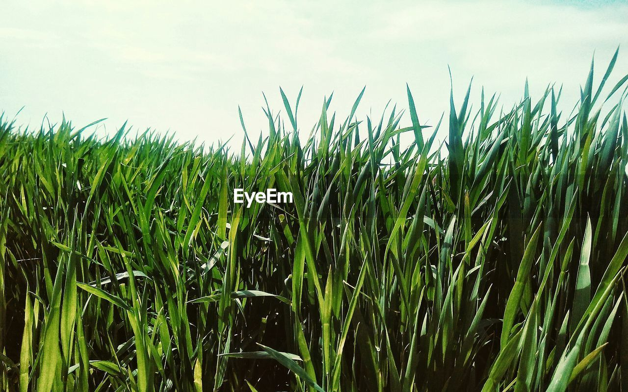 growth, field, agriculture, nature, wheat, crop, grass, cereal plant, plant, landscape, sky, no people, outdoors, day
