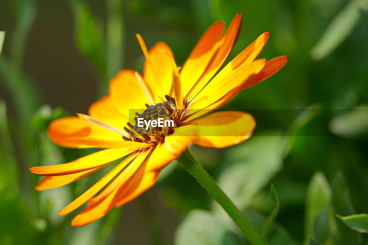 fragility, flowering plant, vulnerability, flower, plant, beauty in nature, petal, growth, flower head, inflorescence, close-up, freshness, yellow, nature, pollen, day, focus on foreground, no people, orange color, gazania