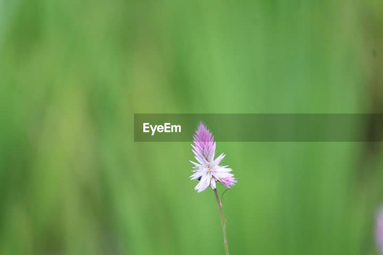 flower, fragility, growth, nature, beauty in nature, freshness, plant, flower head, petal, green color, day, purple, focus on foreground, close-up, no people, outdoors, blooming