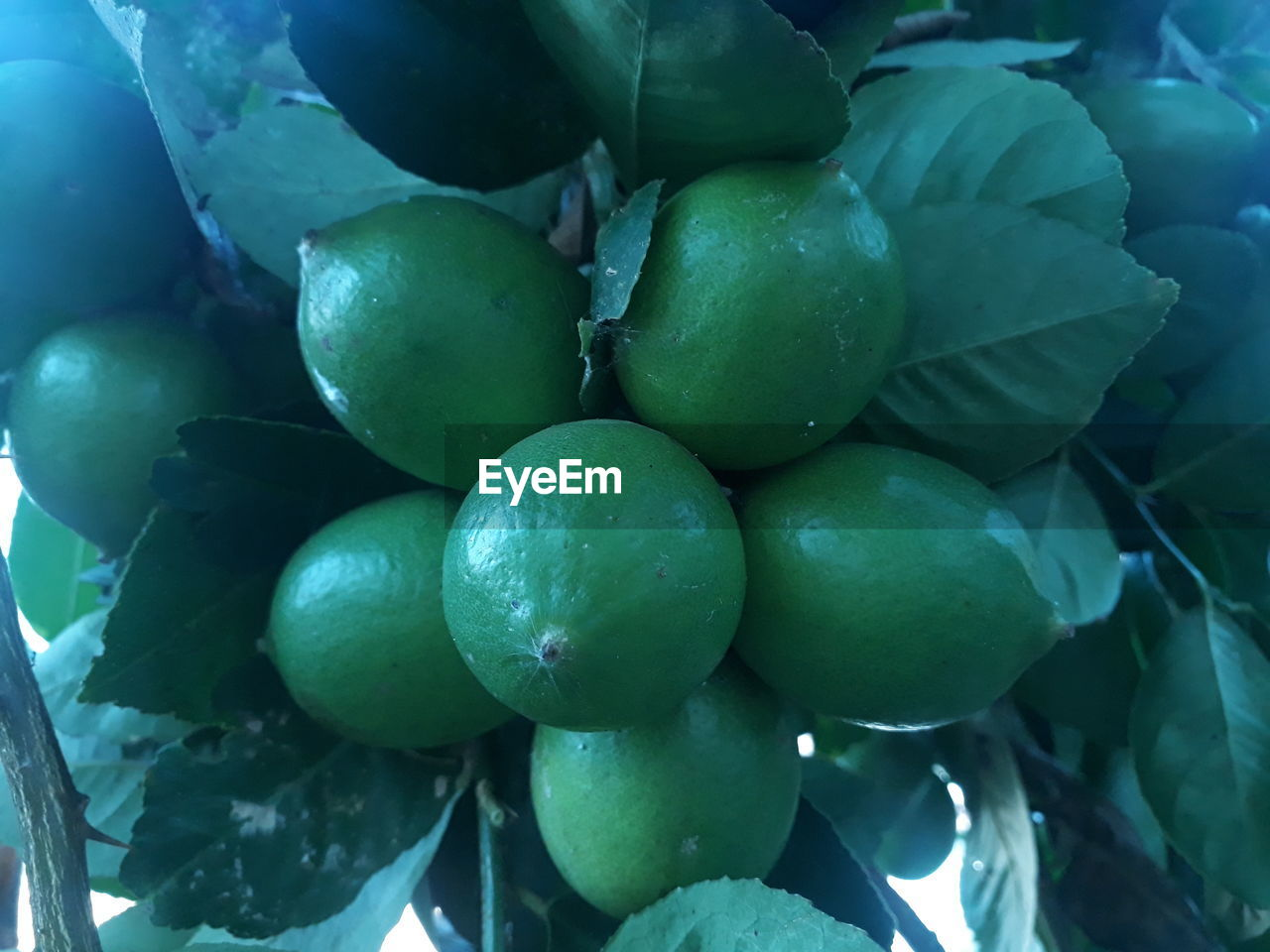 healthy eating, fruit, food, food and drink, freshness, wellbeing, green color, close-up, no people, day, full frame, large group of objects, abundance, plant, leaf, backgrounds, plant part, nature, growth, outdoors, ripe