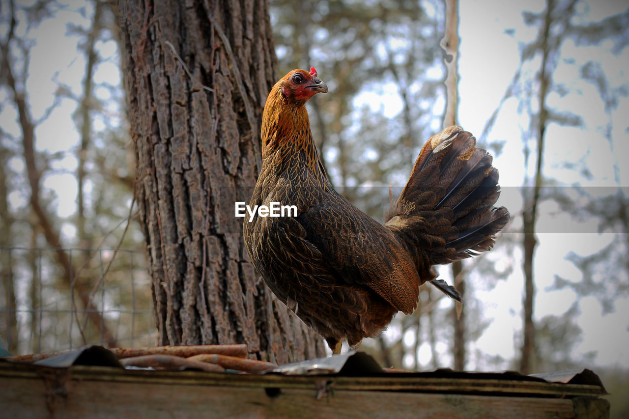 animal themes, bird, tree, animal, vertebrate, focus on foreground, tree trunk, day, plant, one animal, no people, trunk, low angle view, nature, chicken, chicken - bird, domestic animals, male animal, outdoors, animals in the wild