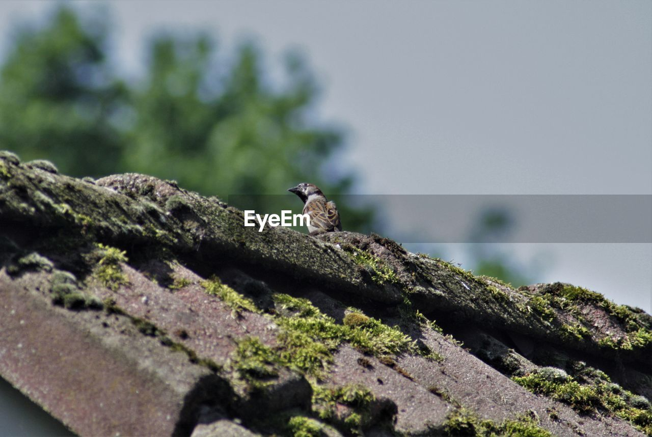 animal wildlife, animals in the wild, animal themes, animal, one animal, no people, selective focus, nature, vertebrate, focus on foreground, day, moss, close-up, low angle view, plant, outdoors, bird, tree, perching, solid, lichen