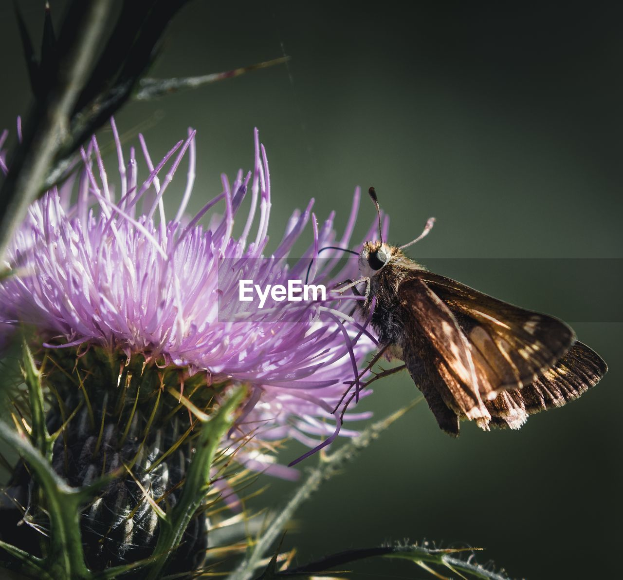 flower, flowering plant, plant, animal themes, invertebrate, animal, insect, fragility, beauty in nature, one animal, vulnerability, animal wildlife, animals in the wild, freshness, petal, growth, close-up, flower head, nature, no people, animal wing, purple, pollination, pink color, butterfly - insect, butterfly
