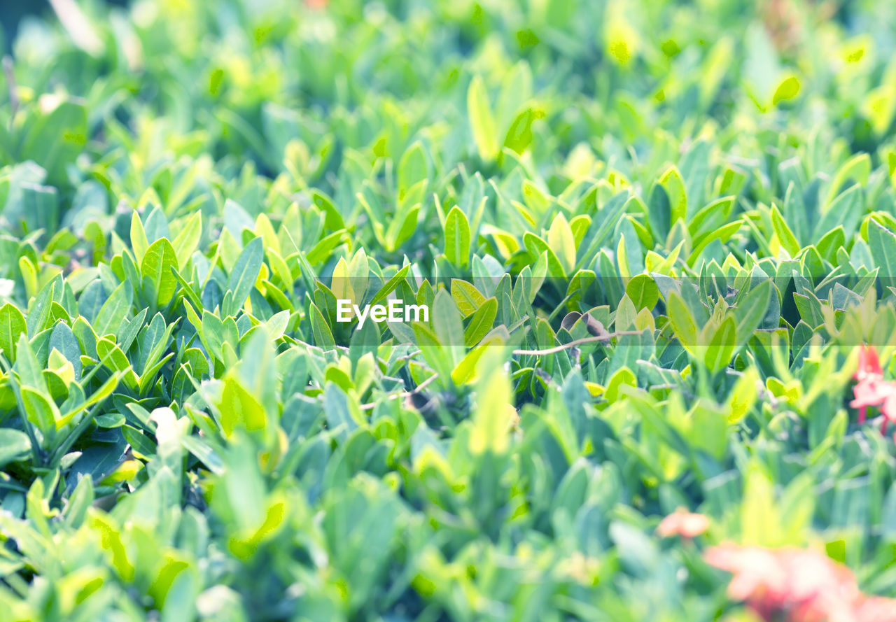 green color, growth, plant part, leaf, selective focus, plant, freshness, full frame, nature, no people, field, beauty in nature, close-up, land, day, backgrounds, vegetable, outdoors, food and drink, sunlight, plantation