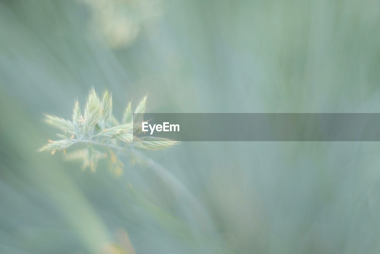 plant, beauty in nature, close-up, fragility, flower, vulnerability, nature, growth, selective focus, day, no people, flowering plant, freshness, tranquility, green color, white color, outdoors, dandelion, focus on foreground, leaf, flower head, dandelion seed, softness