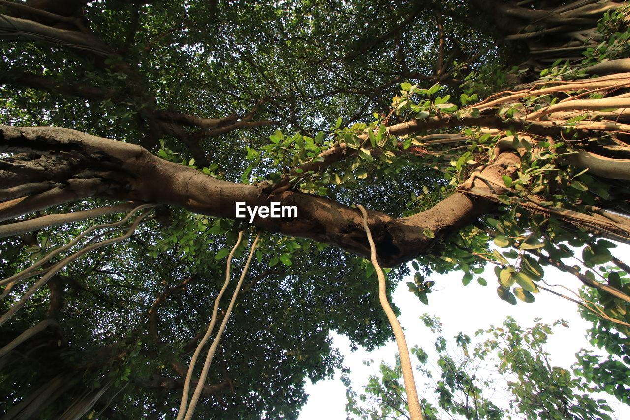 tree, low angle view, growth, nature, tree trunk, branch, beauty in nature, day, forest, outdoors, tranquility, leaf, no people, sky