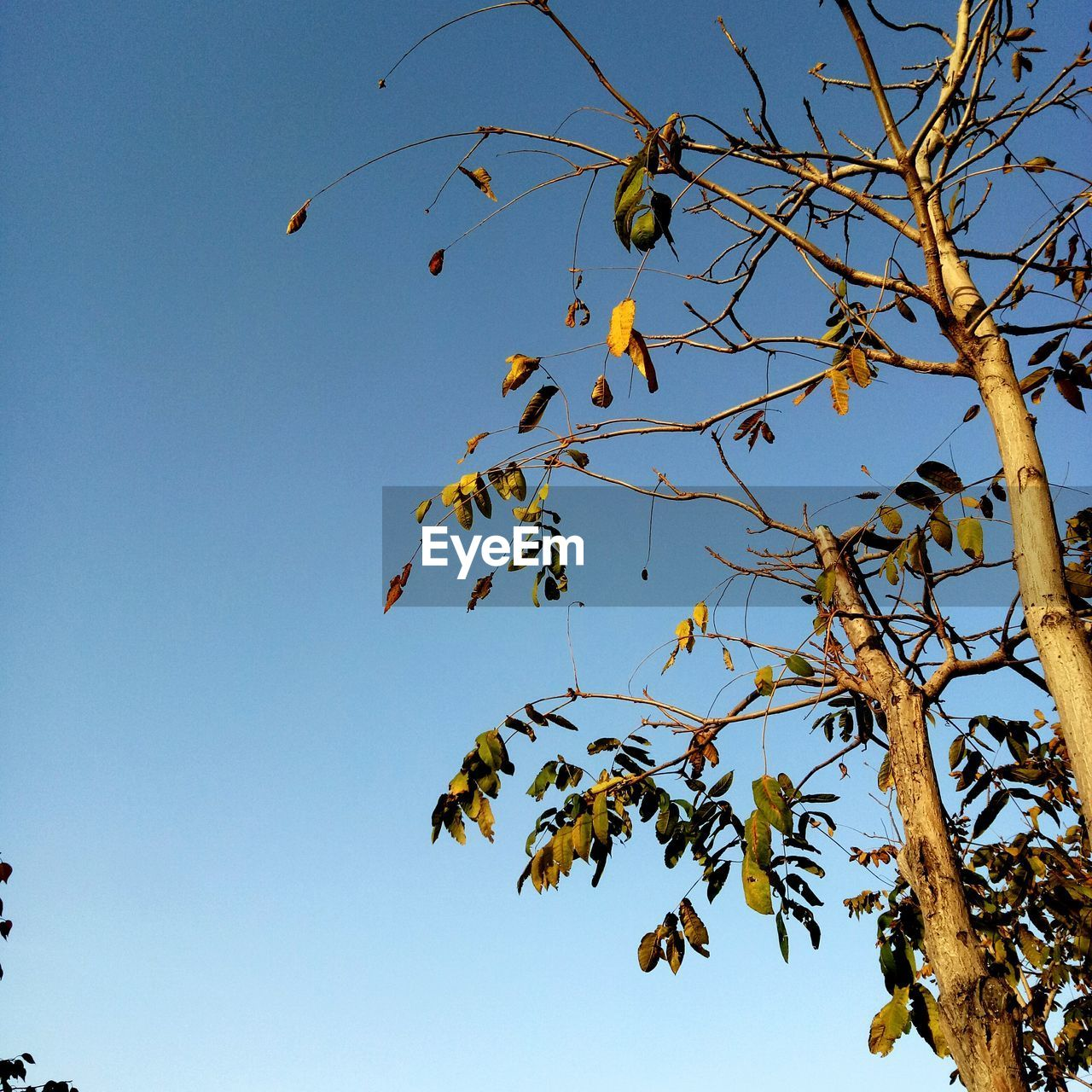 low angle view, branch, flying, clear sky, day, tree, nature, no people, outdoors, growth, blue, bird, animals in the wild, animal themes, beauty in nature, mid-air, sky, bare tree