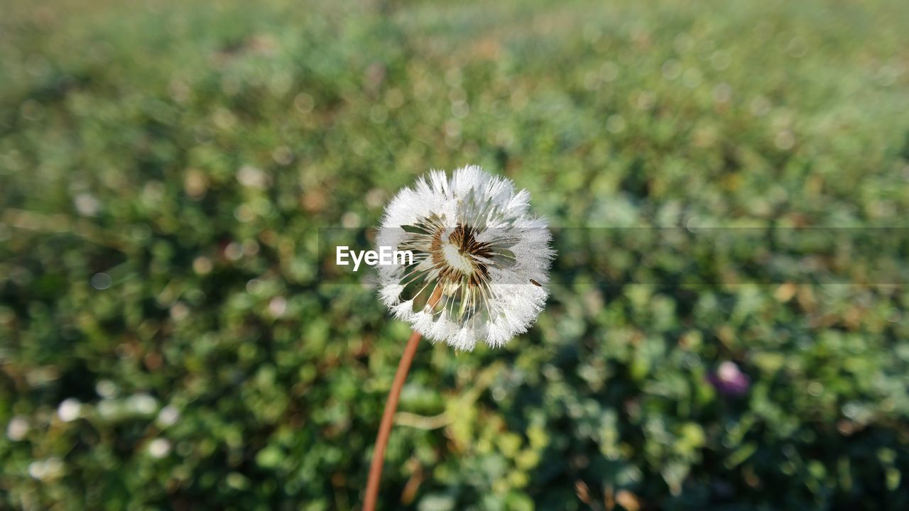 flower, nature, dandelion, fragility, growth, white color, beauty in nature, plant, flower head, freshness, day, no people, focus on foreground, outdoors, close-up