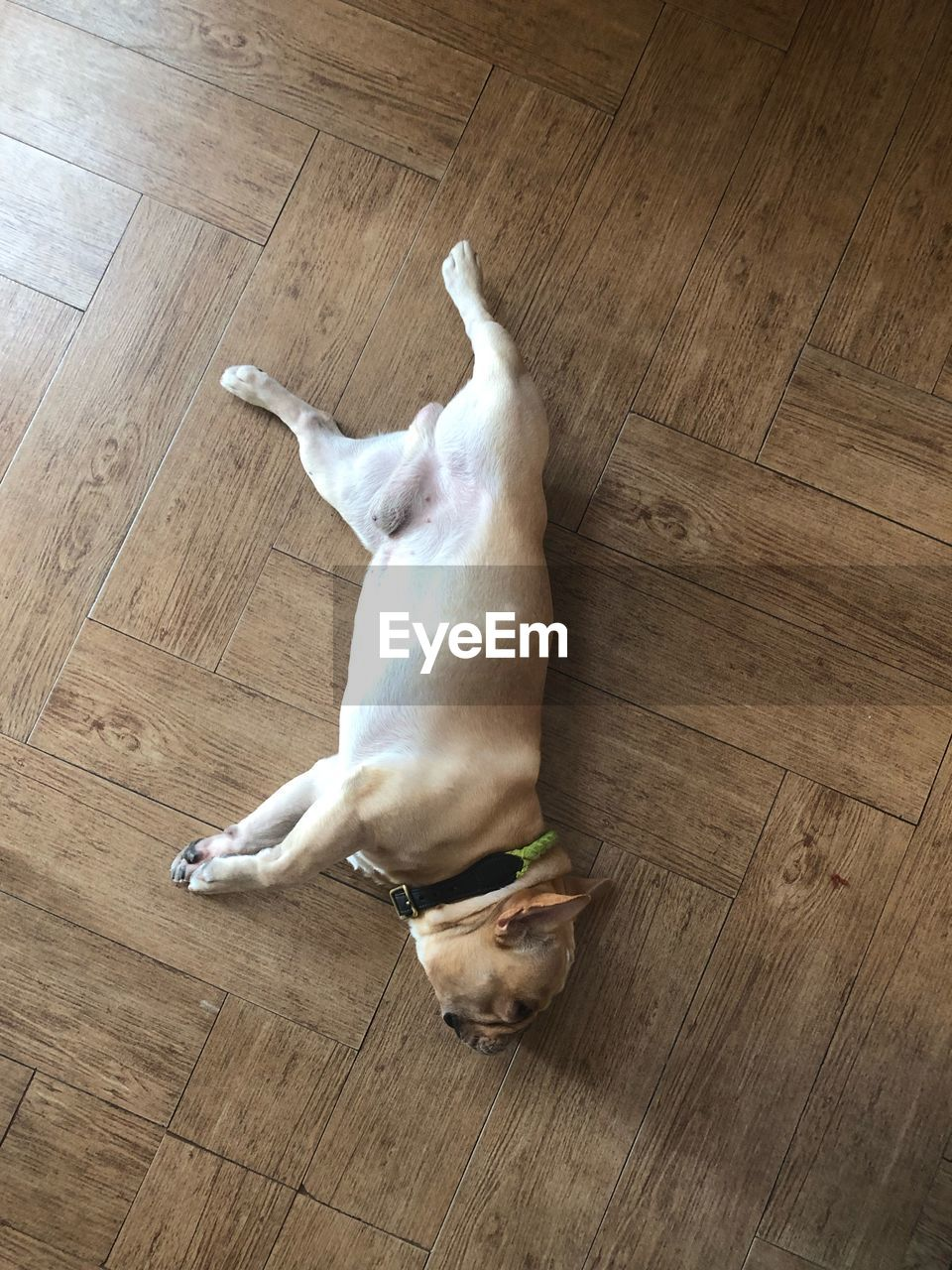 domestic, pets, mammal, domestic animals, flooring, one animal, animal themes, animal, hardwood floor, indoors, wood, dog, canine, high angle view, home interior, relaxation, no people, vertebrate, lying down, wood - material, small