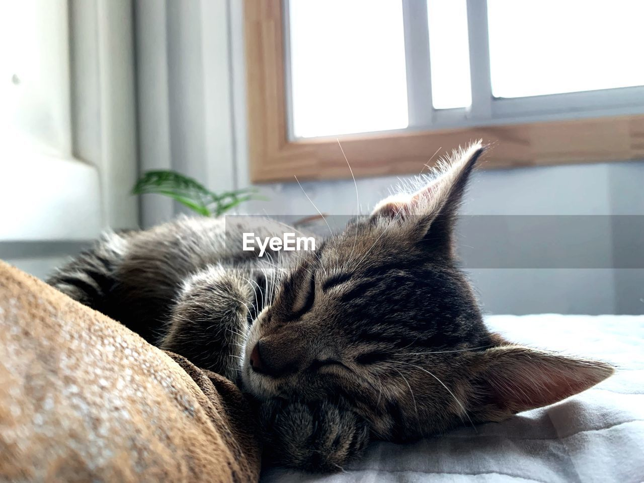 domestic, pets, domestic animals, mammal, domestic cat, cat, one animal, feline, relaxation, animal, animal themes, vertebrate, sleeping, resting, indoors, eyes closed, lying down, no people, home interior, focus on foreground, whisker, napping