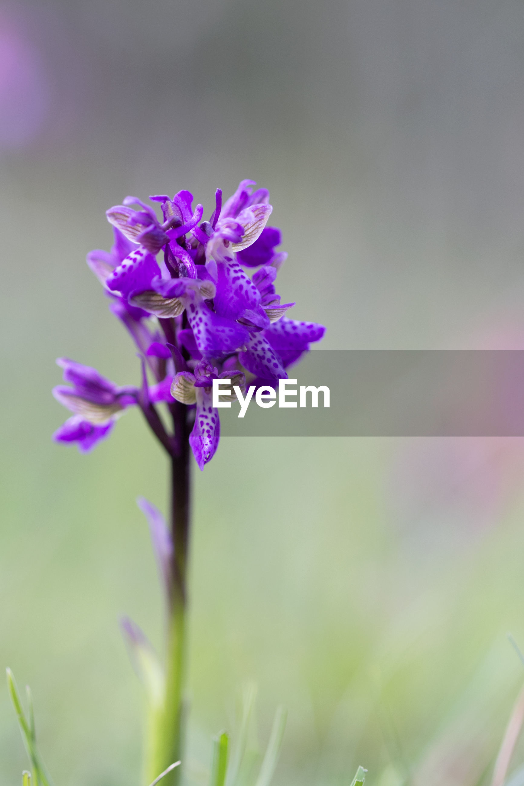 CLOSE-UP OF PURPLE FLOWER BLOOMING