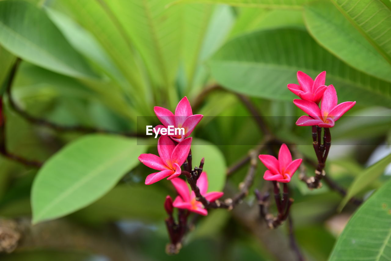 Plant Pink Color Flower Beauty In Nature Flowering Plant Growth Close-up Vulnerability  Fragility Petal Freshness Plant Part Leaf Day Flower Head Inflorescence Focus On Foreground Green Color Nature No People Outdoors Leaves