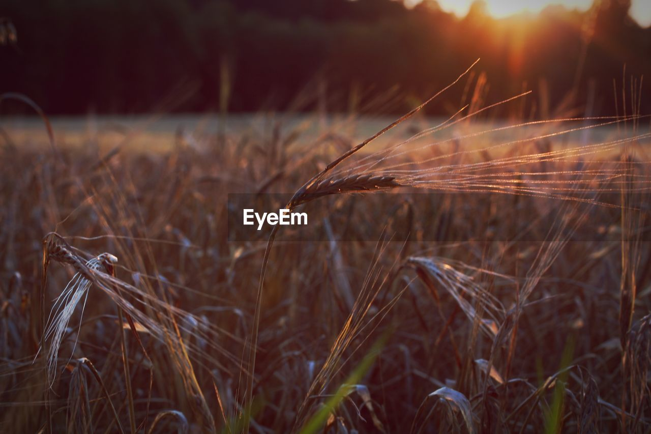field, plant, land, crop, agriculture, growth, cereal plant, nature, landscape, rural scene, close-up, wheat, farm, no people, selective focus, tranquility, beauty in nature, focus on foreground, day, sunset, outdoors, stalk, plantation