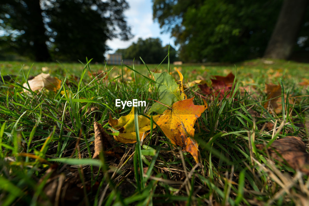 leaf, autumn, change, nature, grass, outdoors, dry, beauty in nature, field, selective focus, day, no people, green color, fragility, maple leaf, maple, close-up, growth, yellow, tree