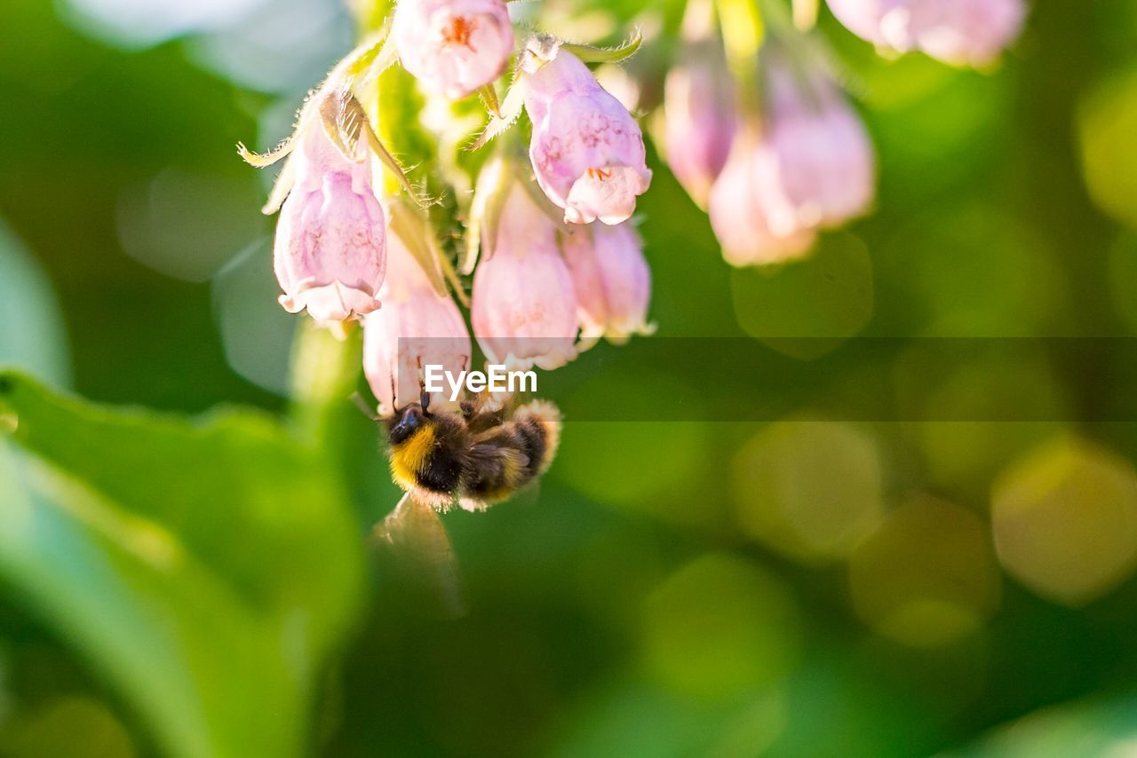 flower, flowering plant, plant, fragility, beauty in nature, vulnerability, bee, growth, close-up, freshness, animal, petal, invertebrate, animal themes, animal wildlife, animals in the wild, insect, one animal, flower head, focus on foreground, pollination, no people, bumblebee, outdoors