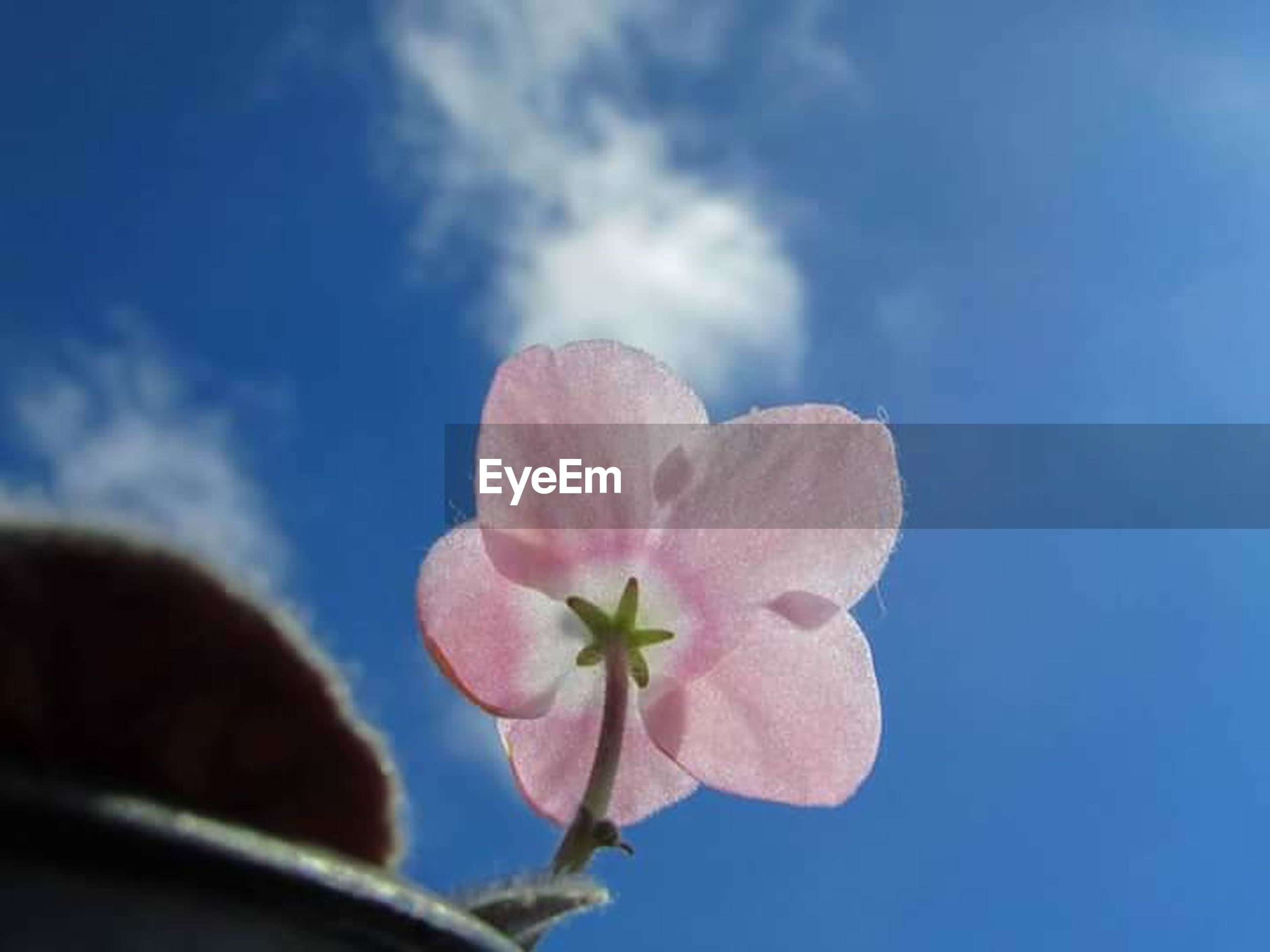 flower, sky, blue, day, close-up, pink color, fragility, outdoors, nature, plant, flower head, beauty in nature, low angle view, freshness, no people