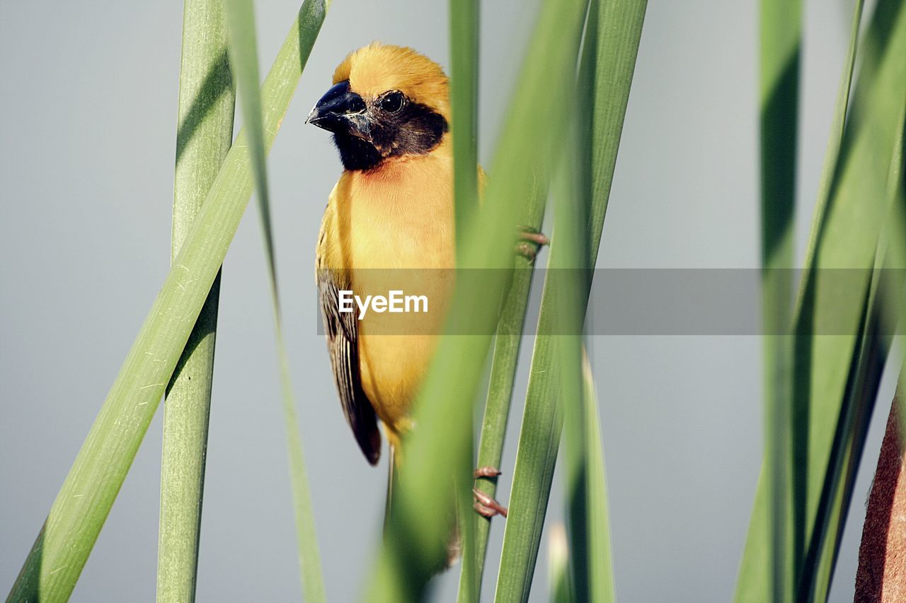one animal, animal themes, animal, plant, green color, no people, animal wildlife, vertebrate, animals in the wild, growth, close-up, leaf, plant part, nature, bird, day, focus on foreground, beauty in nature, freshness, selective focus, bamboo - plant
