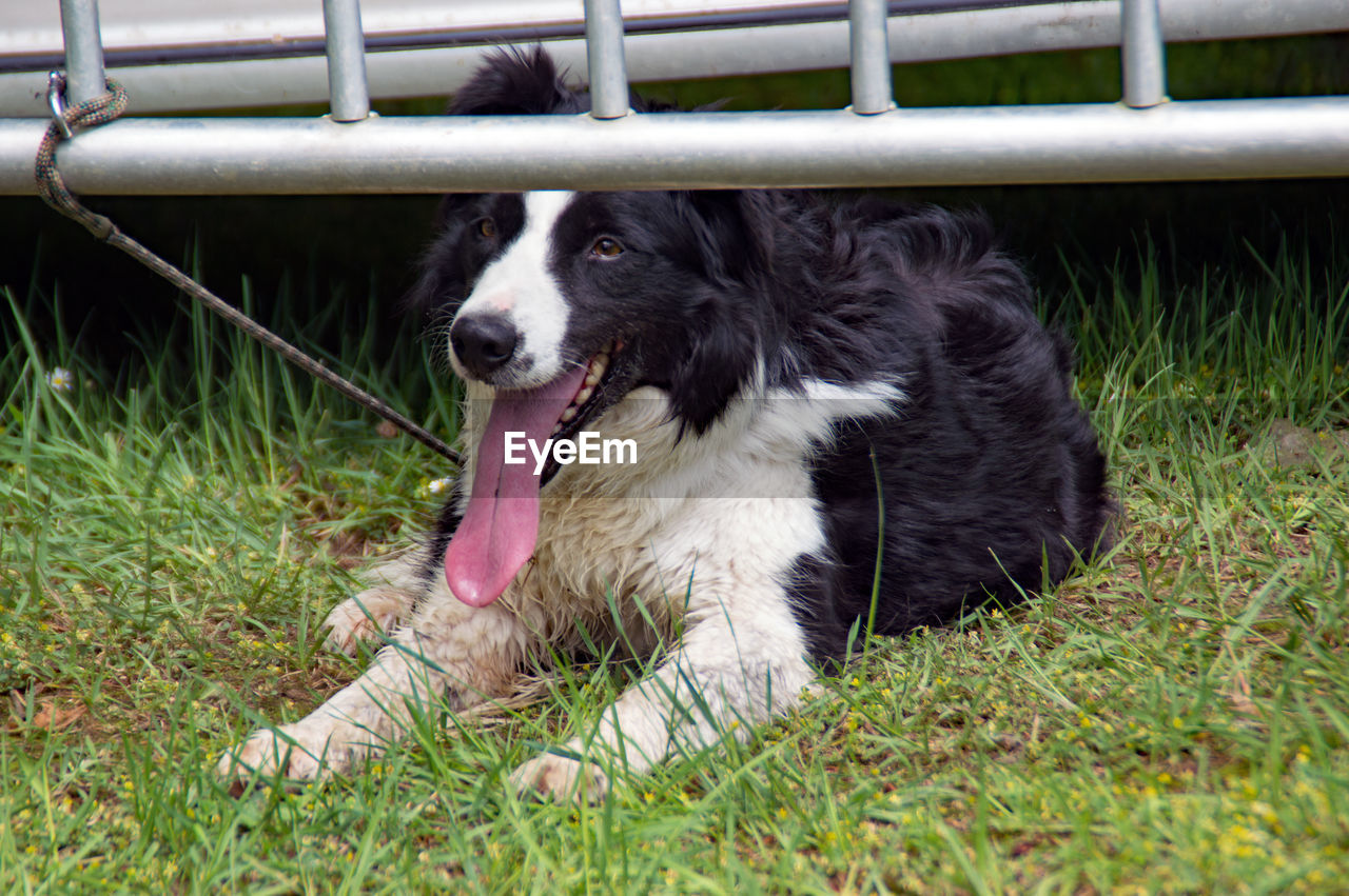 one animal, pets, animal themes, domestic, animal, dog, mammal, domestic animals, canine, grass, vertebrate, plant, no people, nature, land, day, border collie, relaxation, field, facial expression, mouth open, animal tongue, animal head, animal mouth