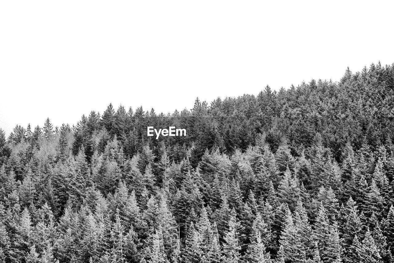 tree, plant, tranquility, sky, beauty in nature, growth, tranquil scene, no people, scenics - nature, day, nature, clear sky, forest, land, copy space, non-urban scene, environment, landscape, outdoors, winter, coniferous tree