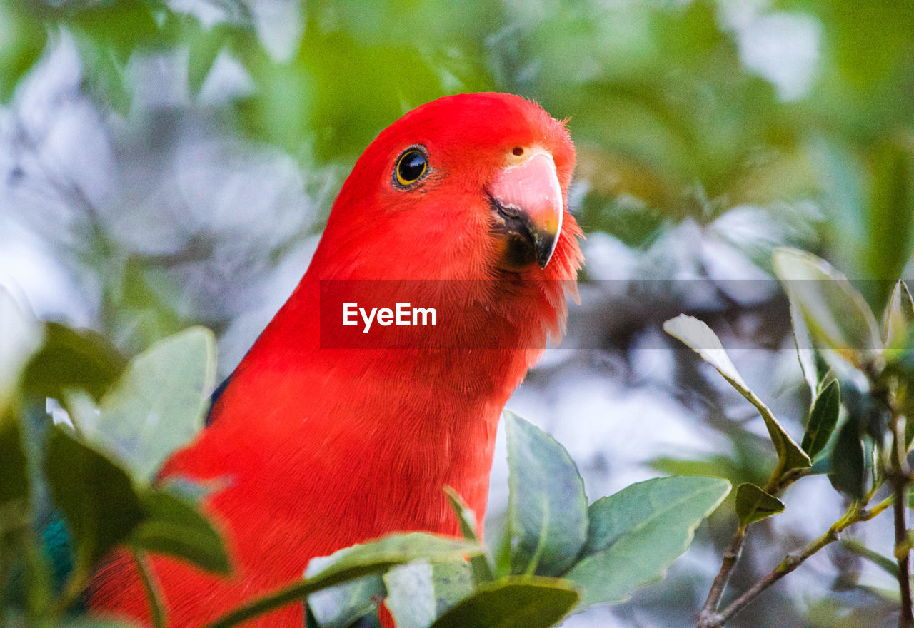 bird, animal themes, vertebrate, animal, animal wildlife, animals in the wild, one animal, parrot, leaf, close-up, plant part, red, plant, perching, no people, day, nature, selective focus, beauty in nature, green color