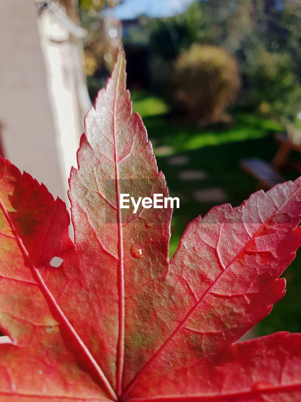 leaf, plant part, close-up, plant, autumn, change, selective focus, day, beauty in nature, no people, nature, red, growth, leaf vein, outdoors, focus on foreground, leaves, fragility, maple leaf, vulnerability, natural condition