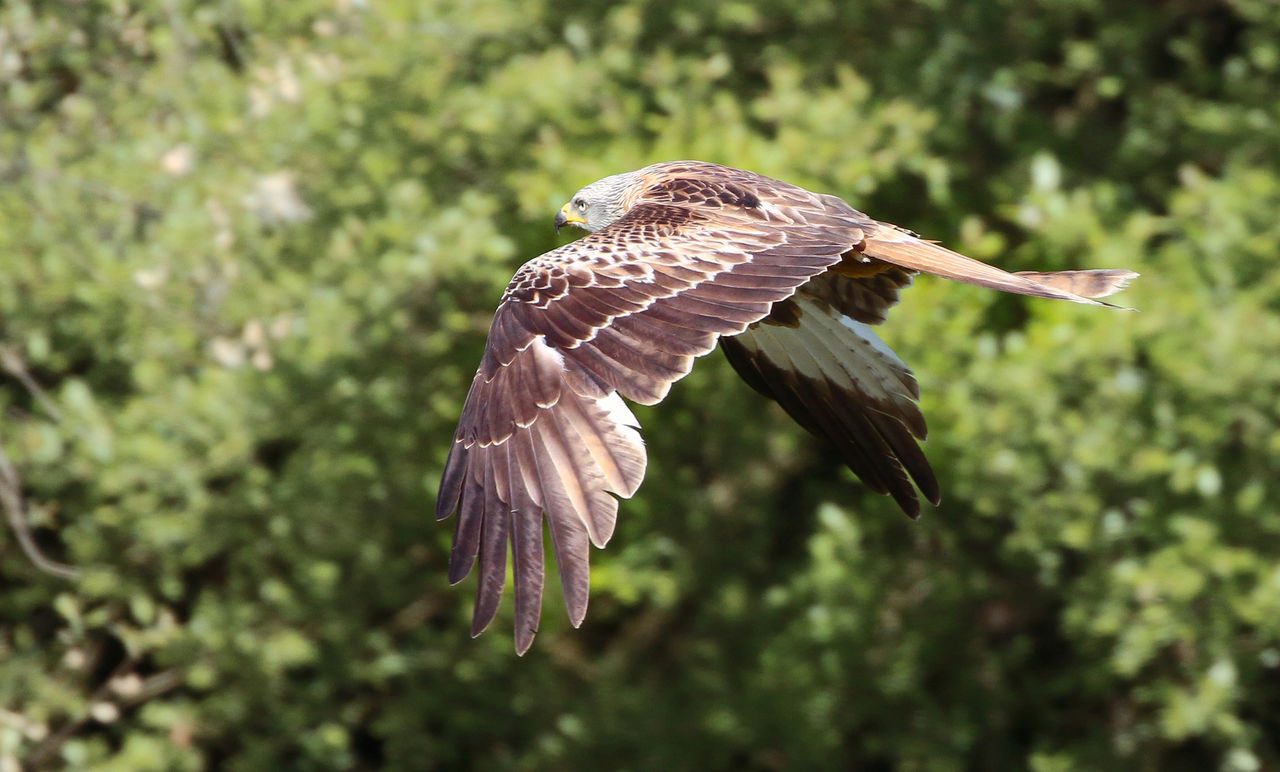 animals in the wild, animal wildlife, animal themes, animal, bird, one animal, spread wings, vertebrate, flying, bird of prey, mid-air, no people, nature, focus on foreground, plant, day, motion, outdoors, beauty in nature, close-up