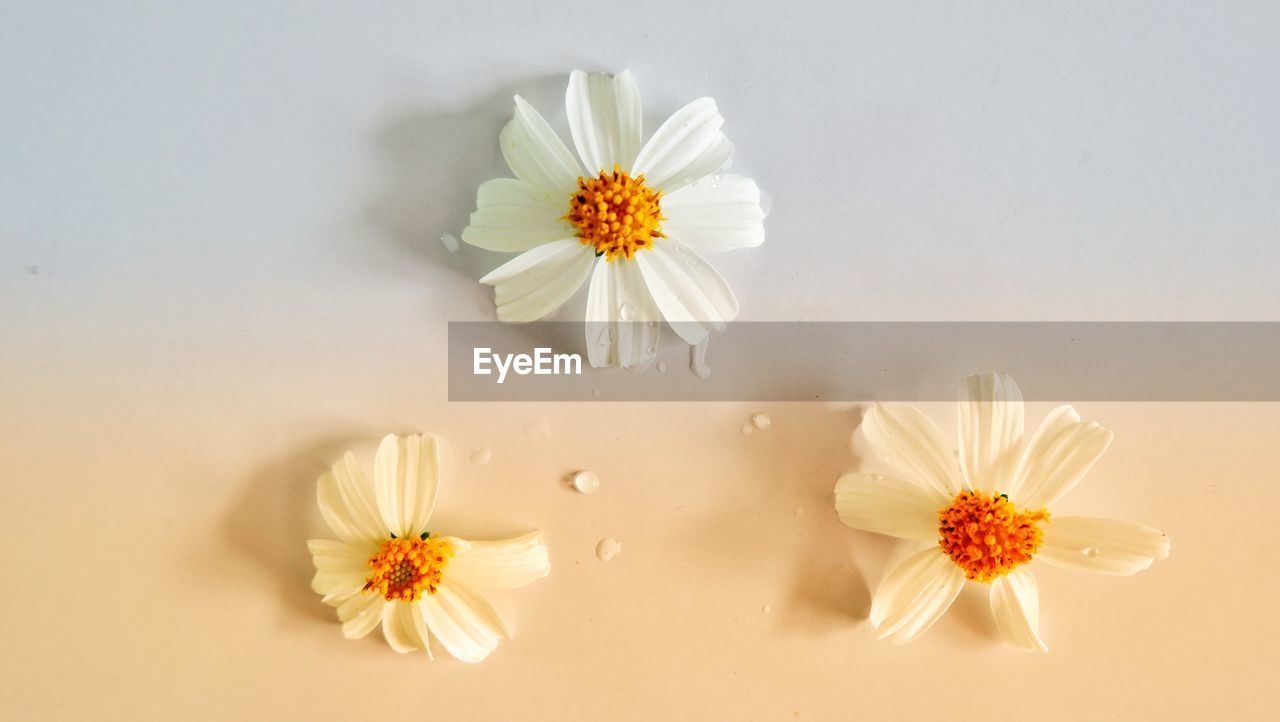 flowering plant, flower, freshness, plant, fragility, vulnerability, flower head, beauty in nature, inflorescence, petal, close-up, white color, nature, daisy, pollen, growth, no people, indoors, studio shot, yellow