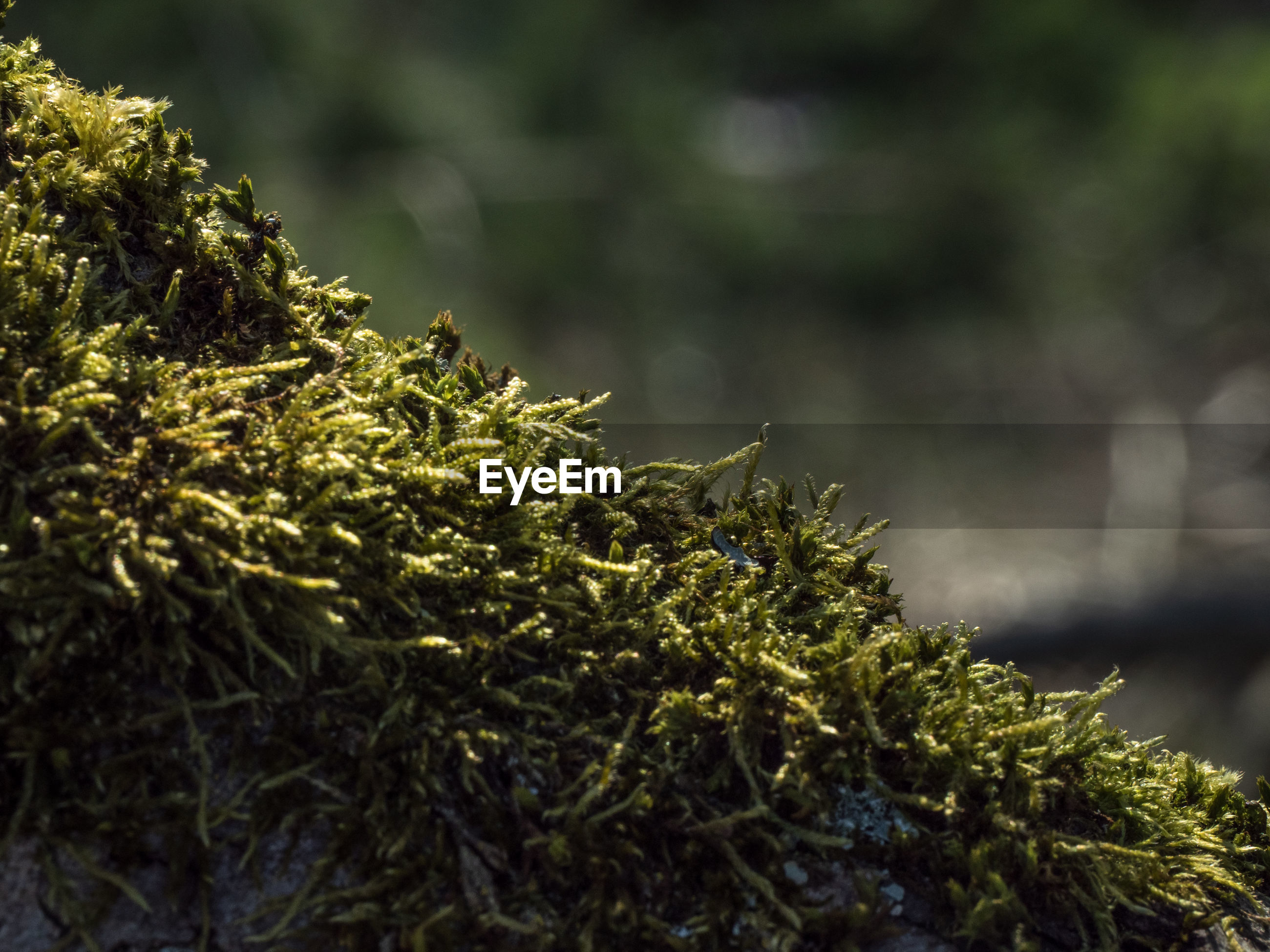CLOSE-UP OF MOSS ON BRANCH