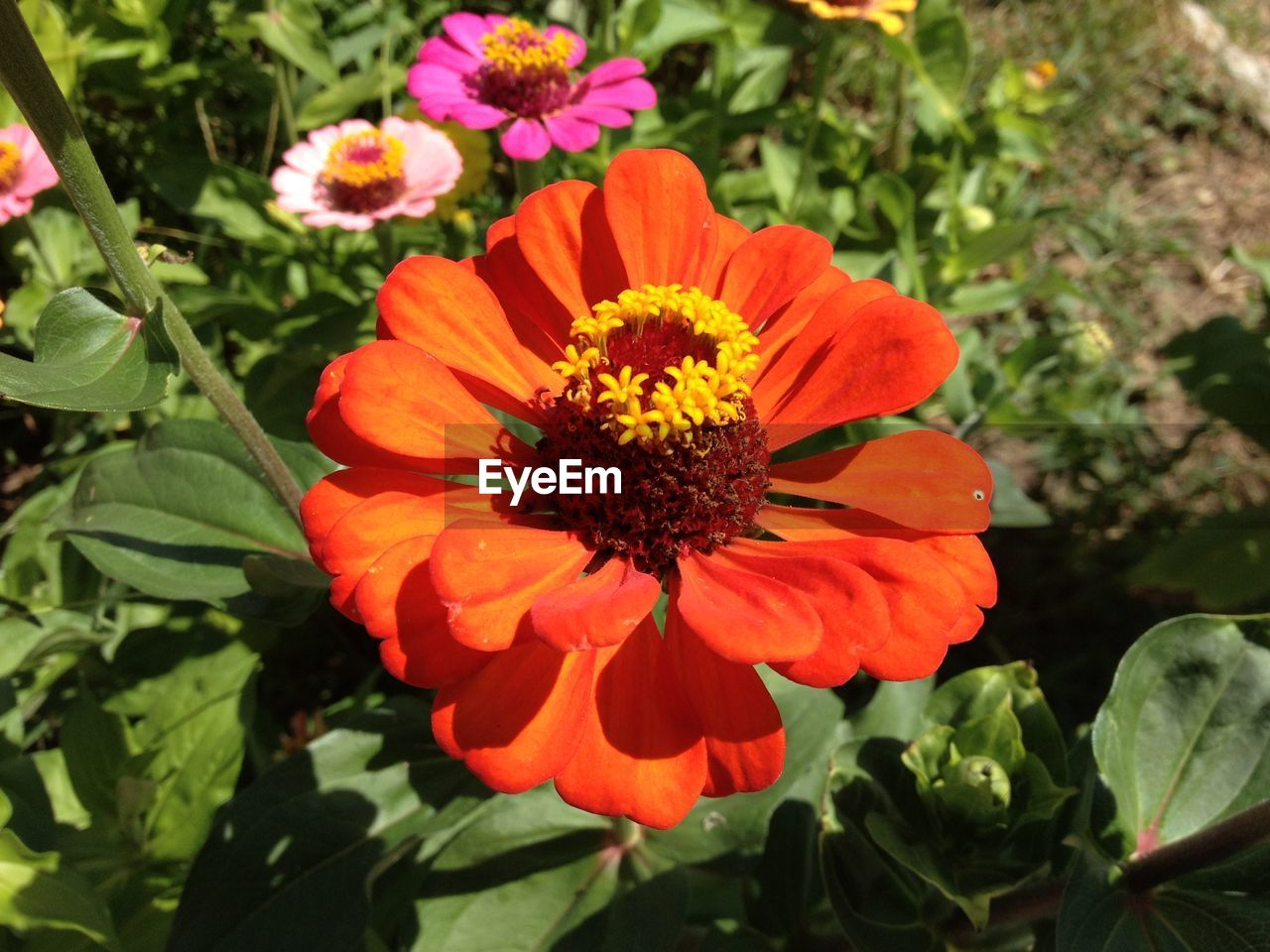 flower, growth, beauty in nature, nature, petal, plant, freshness, flower head, orange color, fragility, blooming, no people, leaf, outdoors, day, zinnia, close-up