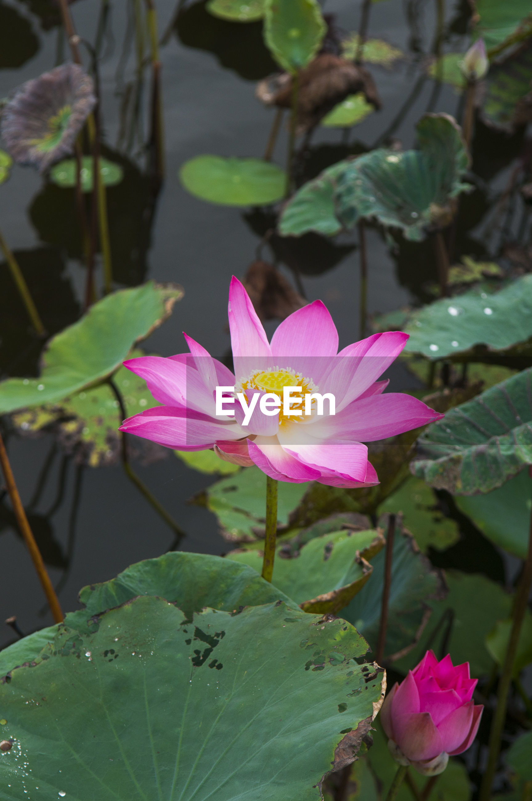 High angle close-up of lotus water lily growing in pond