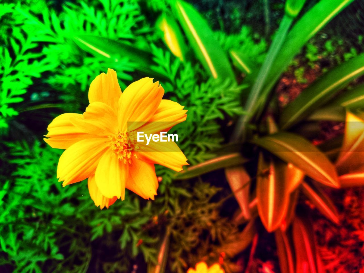 flowering plant, flower, freshness, petal, fragility, plant, vulnerability, beauty in nature, growth, flower head, inflorescence, close-up, yellow, nature, day, no people, focus on foreground, pollen, land, green color, gazania