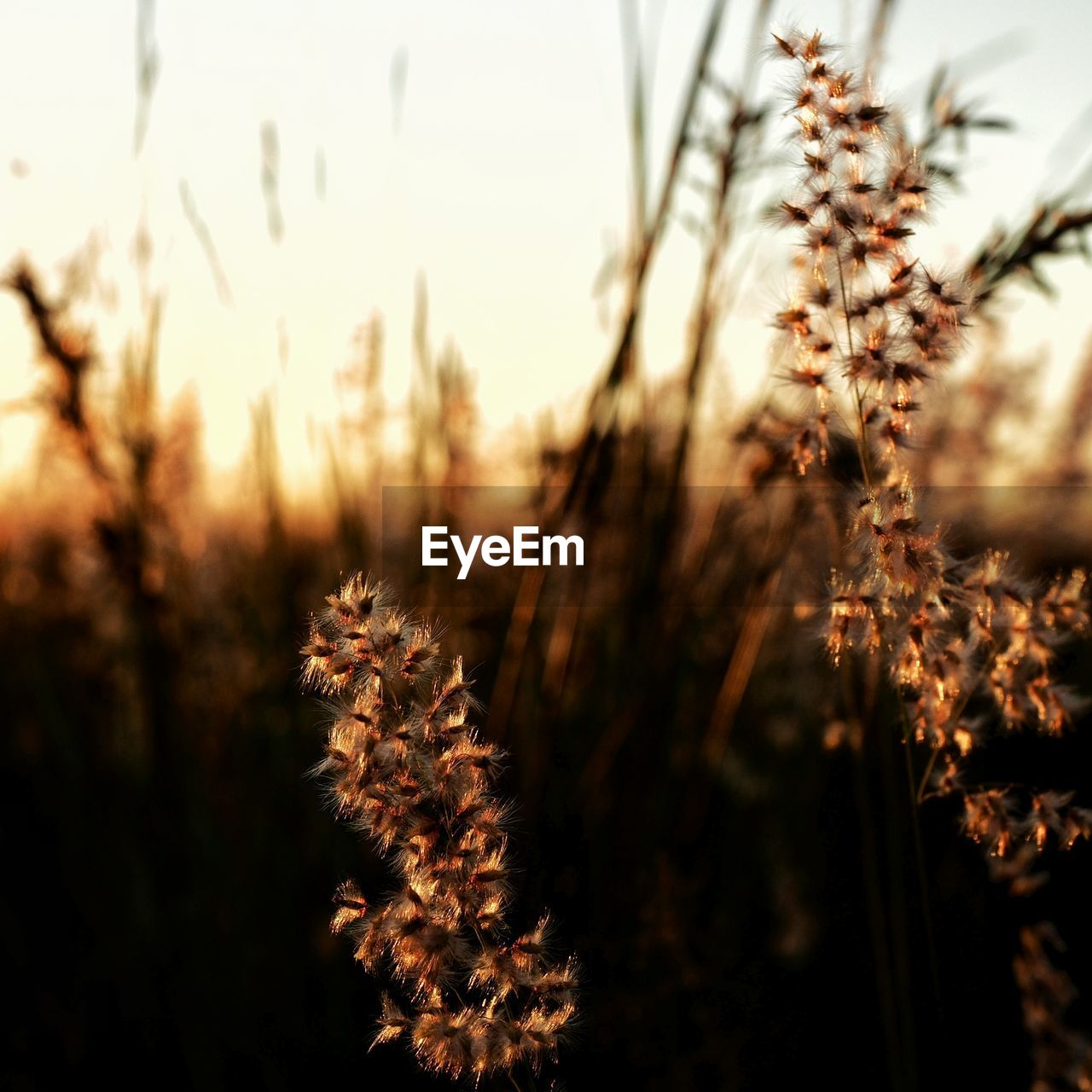 plant, growth, nature, beauty in nature, close-up, sunset, tranquility, no people, focus on foreground, field, selective focus, sky, land, outdoors, sunlight, vulnerability, fragility, day, freshness, flower