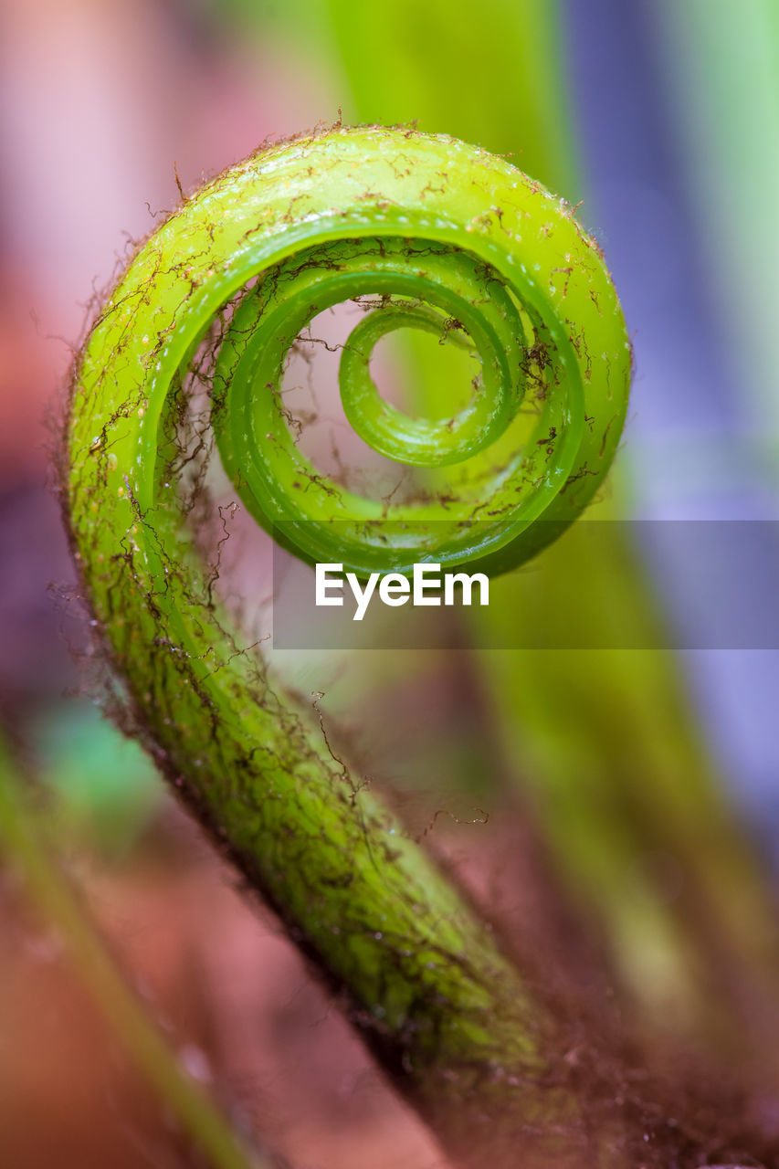 green color, close-up, no people, spiral, selective focus, beauty in nature, growth, plant, freshness, nature, tendril, focus on foreground, fragility, vulnerability, day, curled up, outdoors, fern, wet, water